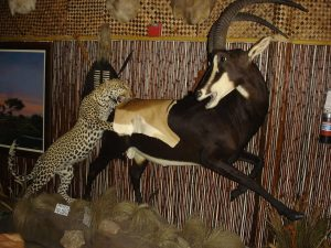 Leopard attacking Sable Antelope at Fort Lauderdale catering hall benefit auction venue